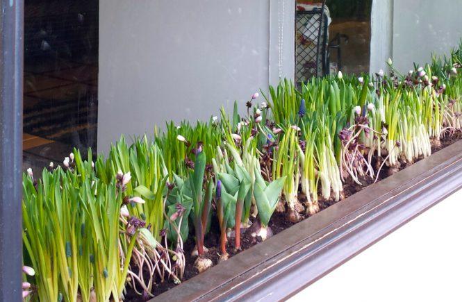 нарциссы и гиацинты в окне
