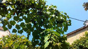 Виноград на фасаде дома, Кестхей
