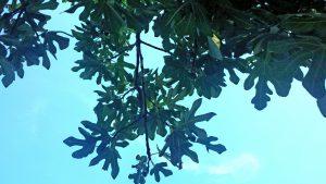 Инжир. Дерево, ягоды и листья